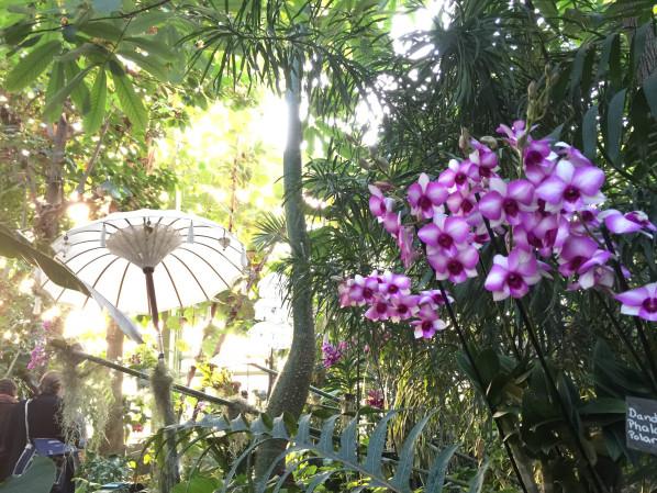 598x449xdendrobium_phalaenopsis_polar_fire_orchidee_grande_serre_jardin_des_plantes_paris_2015_fevrier_hiver-jpg-pagespeed-ic-kbNIBaprYd.jpg