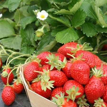 fraisier-mariott-marionnet-g1.jpg